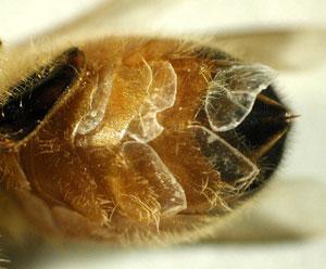 HoneyBeeWaxScalesReduced